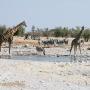 Drukte bij Kalkheuvel, giraffen, zebra's en een springbok