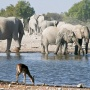 Springbok en olifanten bij klein Namutoni