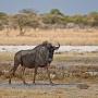 Wildebeest (gnoe)