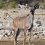 Vrouwtjes kudu