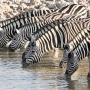 Drinkende zebra's bij Okaukuejo
