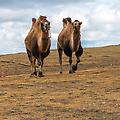 Batu met zijn 2 kamelen