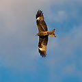 In het Westen van Mongolie zie je heel veel roofvogels