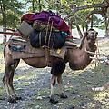 De kameel is opgezadeld. Kamelen kunnen maar liefst 150 kg dragen