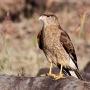 Roofvogel die je vrij veel ziet op Paaseiland