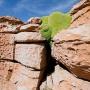 Zeldzame Llaretaplant groeit op de rotsen bij Valle de Rocas