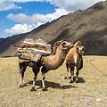 Tijdens de trekking werden we begeleid door Baina en Batu, 2 nomaden van de Khoton stam. Hier zie je Batu met zijn kamelen