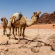 Kamelen in de Wadi Rum woestijn
